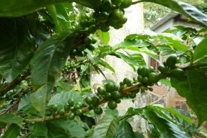Kaffeestrauch im Ursprungsland Nicaragua