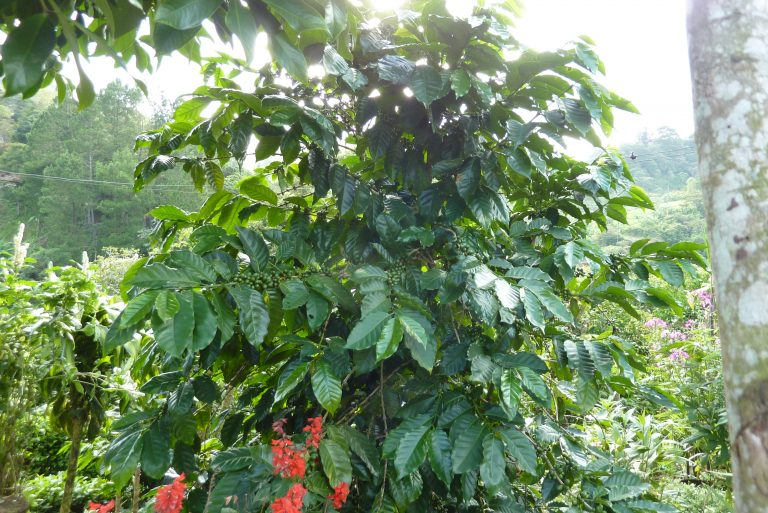 Kaffeestrauch oder Baum