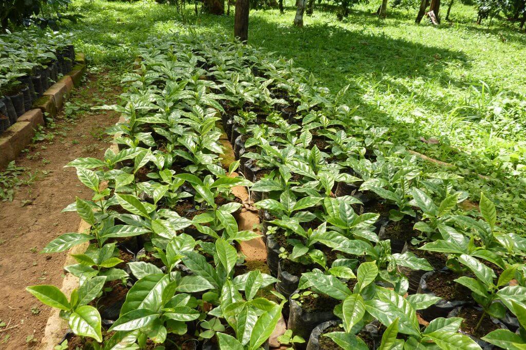 Kaffeepflanzen Nachzucht
